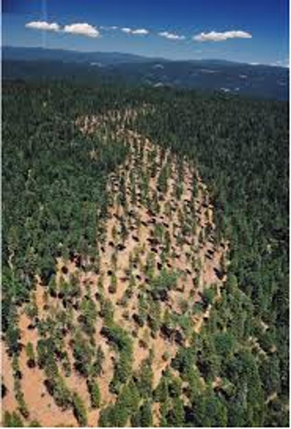 Fire break of thinned trees