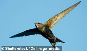 Swifts found on the ground need help
