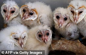 Baby barn owns should be returned to their nests if they are found on the ground