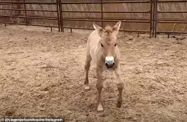 Kurt learning to steady himself. There are less than 2,000 Przewalski's horses alive today, almost all of which are in captivity