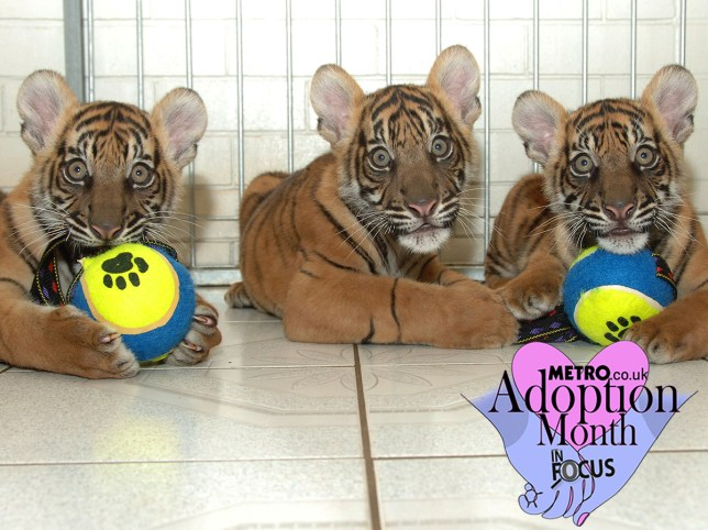 Three tiger cubs in a room, staring at the camera. Two have tennis balls to play with.