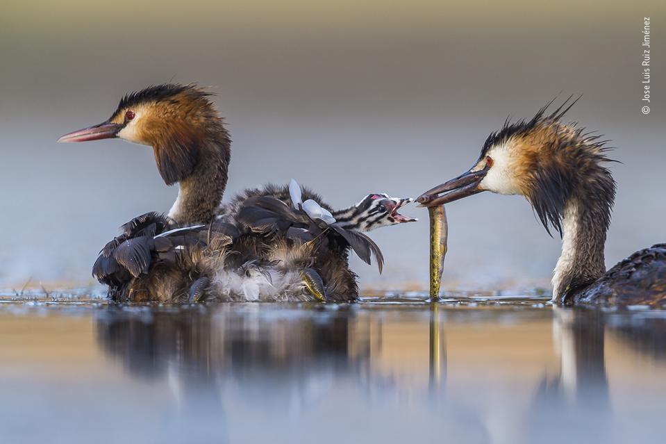 Wildlife Photographer of the Year, a  great crested grebe bird family