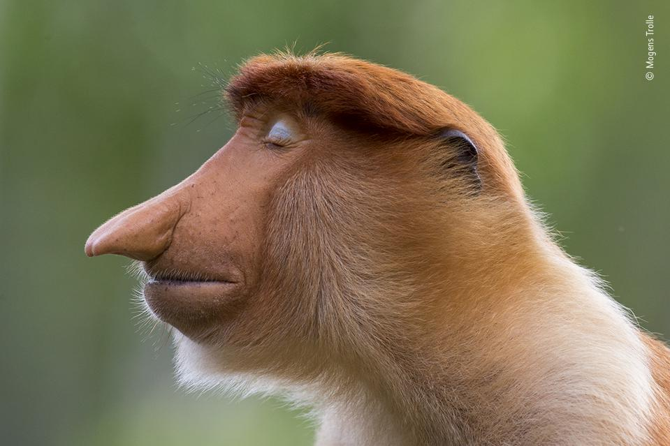 Wildlife Photographer of the Year: A young male proboscis monkey