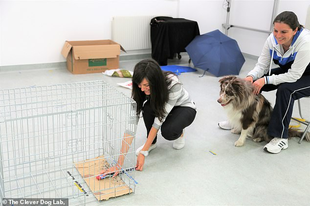 Researchers from Eötvös Loránd University in Budapest put 217 Border collies —ranging in age from six months to 15 years — through various tests to determine their personalities