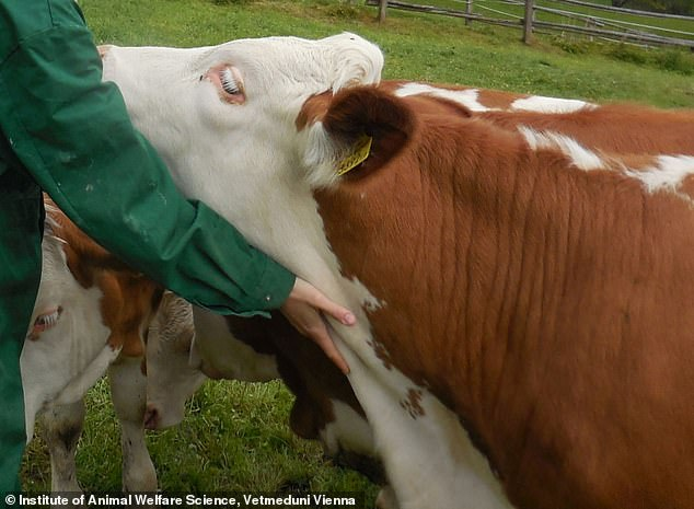 The researchers worked with a herd of 28 cows. They compared heifers' reactions to stroking while an experimenter was talking soothingly ('live') or while a recording of the experimenter talking soothingly was played ('playback')