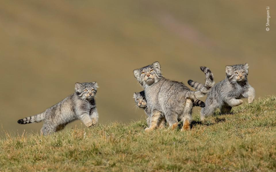 Wildlife Photographer of the Year: A family of Pallas's cats on the  Qinghai–Tibet Plateau