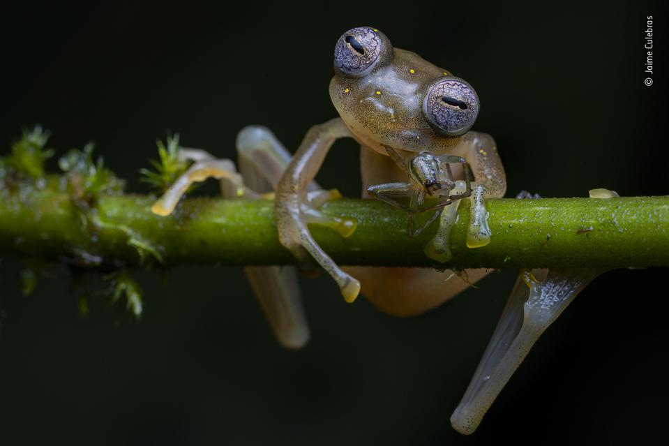 Wildlife Photographer of the Year, a Manduriacu glass frog snacks on a spider.