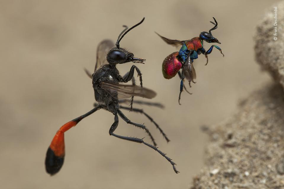 Wildlife Photographer of the Year:  a red-banded sand wasp and a cuckoo wasp, enter nests.