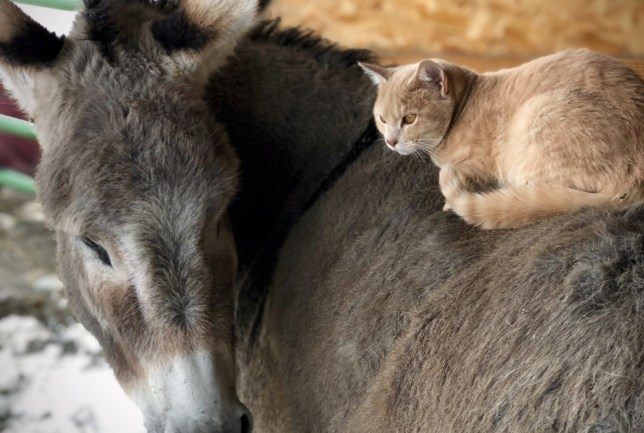 This cat and donkey have become best friends, posing for photos like a real-life version of Donkey and Puss in Boots from Shrek