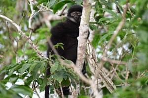 East Sumatran banded langur