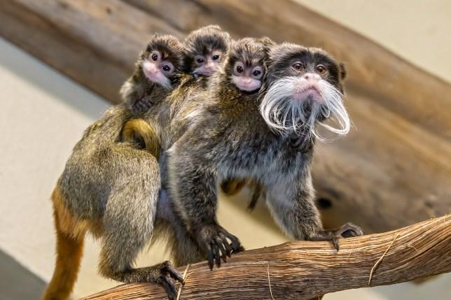 dad purple with tiny baby tamarin monkeys