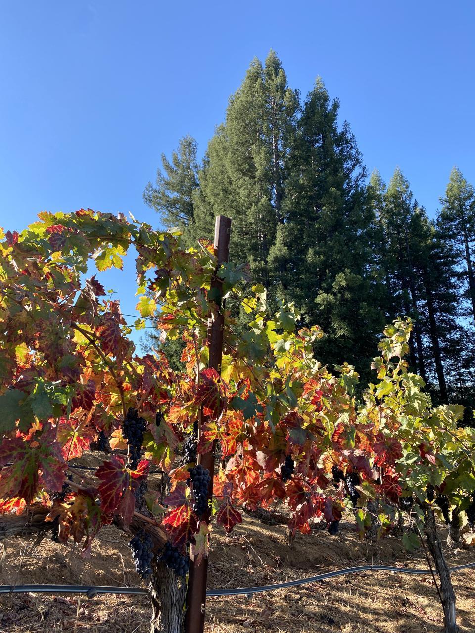 Redwoods in the vineyards.