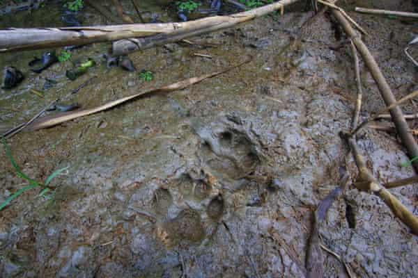 Pugmarks from the elusive fishing cat, on the banks of Chilika Lake, in Odisha, India.