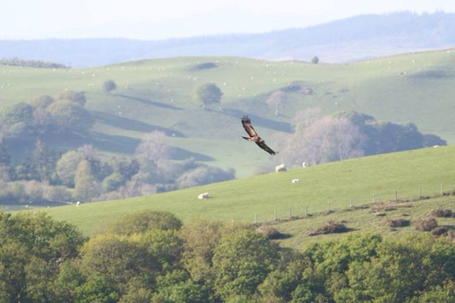 The last surviving golden eagle in Wales found dead on a mountainside was shot - and the killing has outraged a BBC Springwatch presenter. The dead bird was found by a walker this summer after surviving around 12 years swooping remote valleys and hills of Wales. Naturalist TV presenter Iolo Williams spent weeks tracking the golden eagle as part of a BBC series - and was heartbroken after it was found dead in the Abergwesyn Valley, near Tregaron, Powys. Pictured here is the golden Eagle. WALES NEWS SERVICE