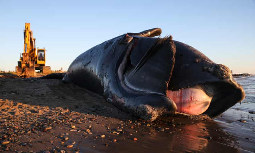 A 9-year-old male North Atlantic right whale lies dead on a beach in New Brunswick off Canada after being towed onto the shore the night before. The whale was known to researchers who said that in its short life it had endured at least one vessel strike and three entanglements in fishing gear.