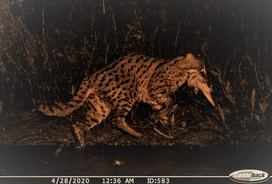 An image of a fishing cat with its catch at Chilika, Odisha. The image was captured by the camera trap.