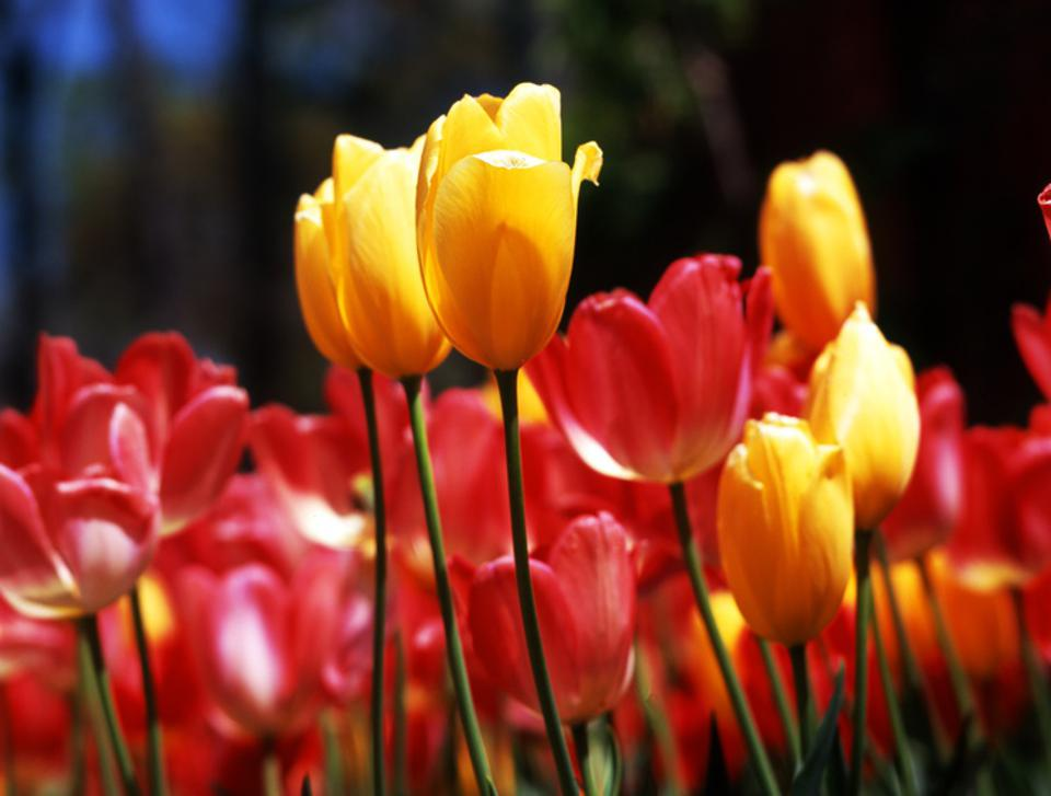 Yellow red tulips