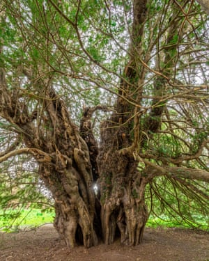 The wonder of yew: the ancient Ankerwycke yew tree.