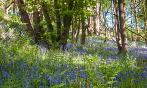 Bluebells in Hackfall Wood.