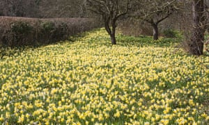 Wild daffodils flowering at Gwen and Vera's Fields nature reserve near Dymock.
