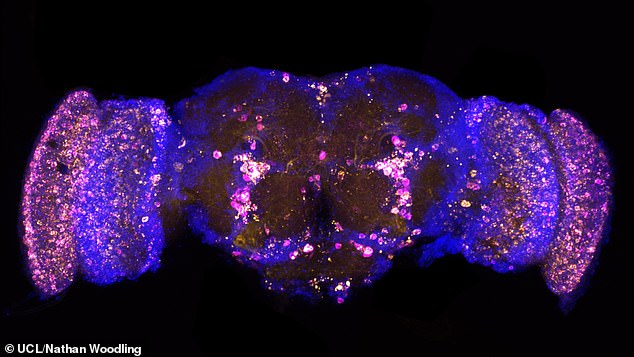 Pictured, a picture of a fruit fly brain that has been altered so that it certain proteins glow. In this picture the yellow dots are the damaging protein p62/REF2P and the magenta is poly-ubiquitin. A similar technique was used to track FKH and FOXO