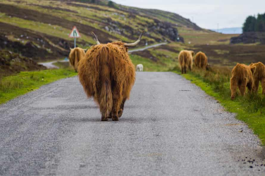 Highland cows on the road to Applecross, Scotland.