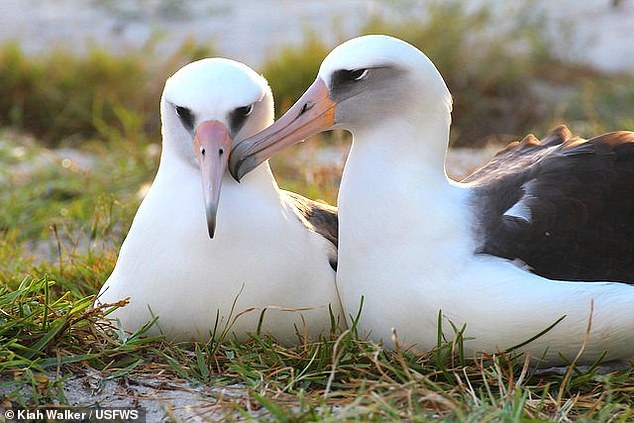 Wisdom has been raising chicks with her current mate ¿ a male called 'Akeakamai' ¿ since 2010, experts from the US Fish and Wildlife Service said. Pictured: the pair as seen in 2015