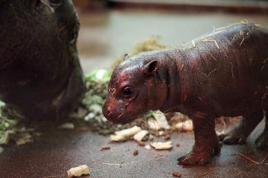 Undated handout photo issued by the Royal Zoological Society of Scotland of a endangered pygmy hippo calf born on April 17 at Edinburgh Zoo to parents Otto and Gloria. PA Photo. Issue date: Monday May 3, 2021. The calf weighed just 11lb 14 oz (5.4kg) when she was born last month and is now going on show to the public. See PA story ANIMALS Hippo. Photo credit should read: Royal Zoological Society of Scotland/PA Wire NOTE TO EDITORS: This handout photo may only be used in for editorial reporting purposes for the contemporaneous illustration of events, things or the people in the image or facts mentioned in the caption. Reuse of the picture may require further permission from the copyright holder.