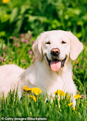 Pictured, a Labrador, the least aggressive dog breed, a new study claims