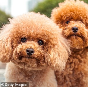 Pictured, Miniature Poodles, which were found to be the second most aggressive dogs.Small dogs were found to be more likely to behave aggressively than mid-sized and large dogs, but due to their size it is often not seen as threatening and therefore goes unaddressed