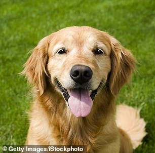 Pictured, a Golden Retriever, the second least aggressive breed