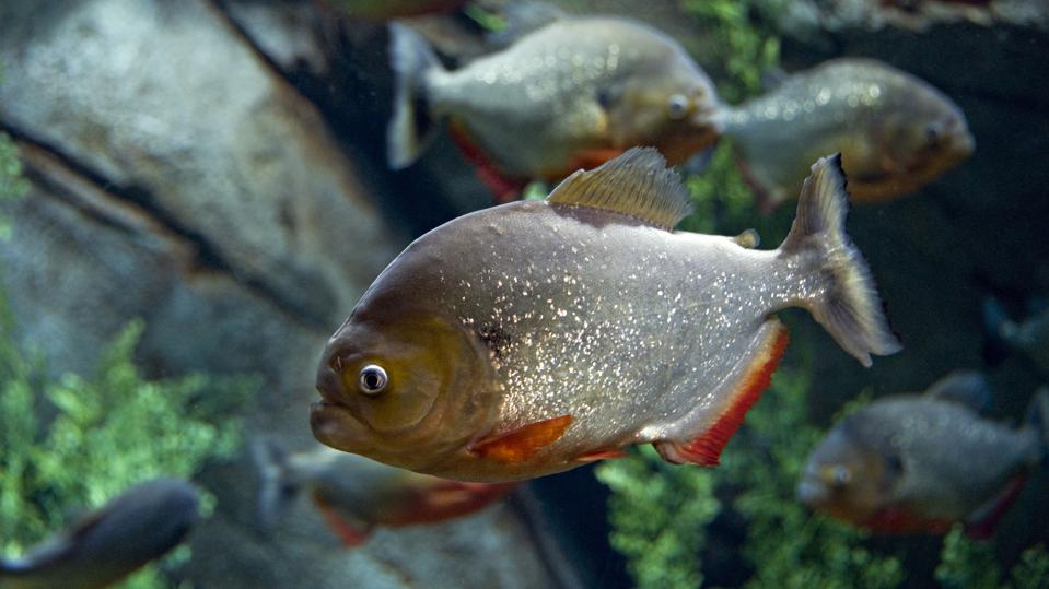 Red-bellied Piranha, Pygocentrus nattereri. A highly predatory carnivore, up to 12 inches long. Strong, fast jaws and sharp teeth. Found in large areas of the Amazon River. Georgia Aquarium, Atlanta, Georgia. USA