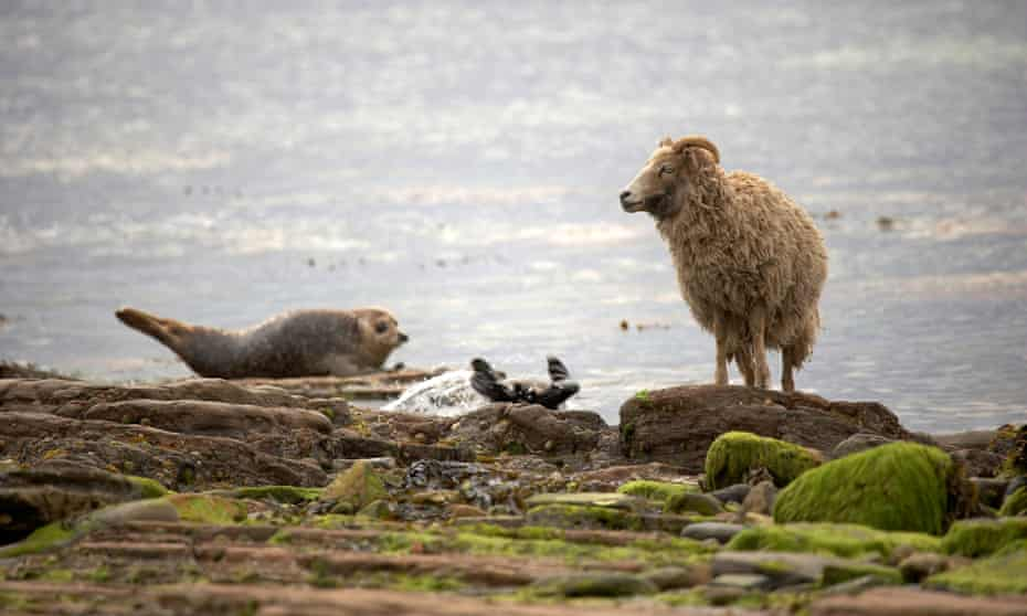 A sheep next to a common seal on the shoreline at North Ronaldsay.n.