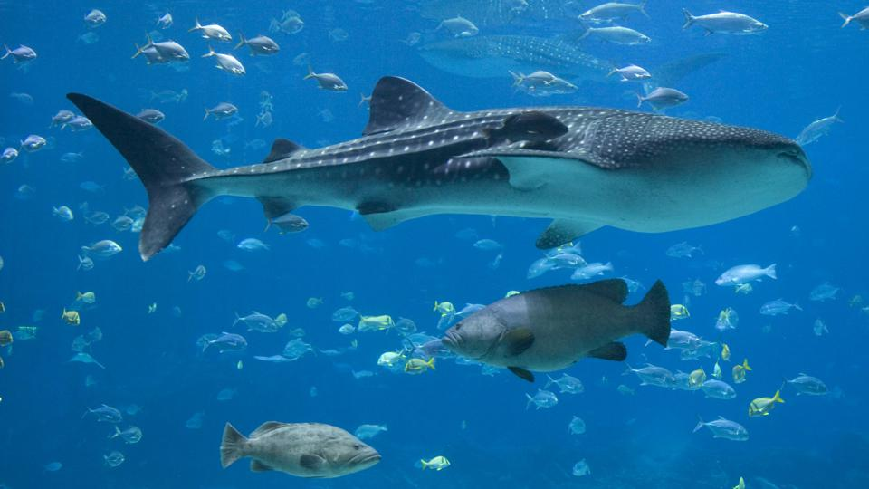Groupers, Whale Sharks and lots of fish