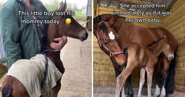 Heartbroken horse adopts malnourished newborn after still birth equitality TikTok equitality ?