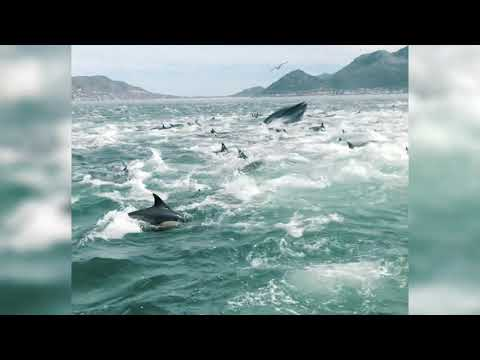 A superpod of dolphins and a single whale feeding just off Fish Hoek's shores.