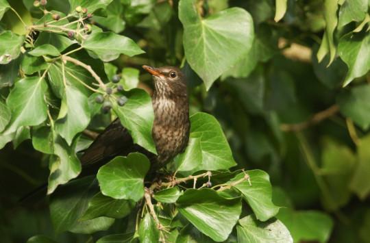 female Blackbird, Turdus merula, eating ivy berries in woodland in the UK.