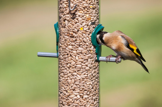European Goldfinch (Carduelis carduelis) taking seeds (sunflower hearts) from a sunflower seed feeder.