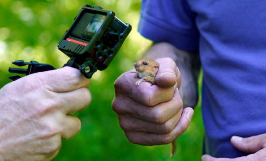 One of the 1,000 hazel dormice released back into the wild in a secret location in Lancashire. (Credits: PA)