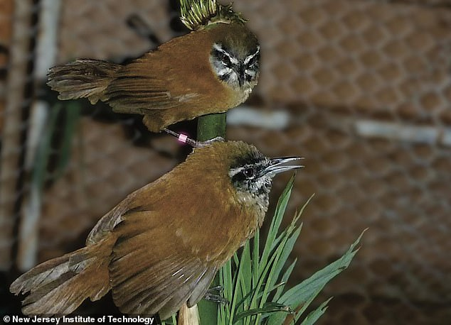 Duetting songbirds are so tightly in sync they appear 'telepathic' due to their ability to 'mute the music mind' of their partner when singing, a new study reveals
