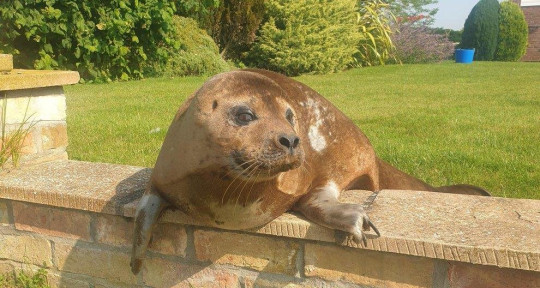 Medialincs; Photo by Lincolnshire Police Wildlife Officer ??PC Martin Green. 20/07/2021. Seal found in the garden of Mrs Anne Page, Billinghay, Nr Sleaford Lincs