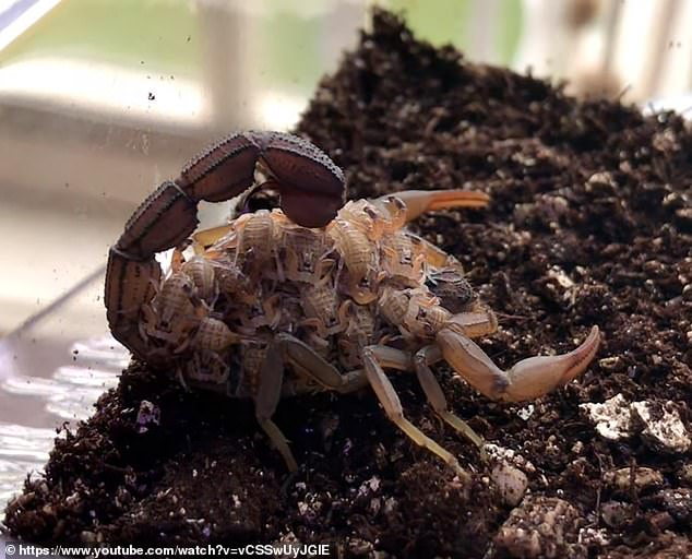 The UV light is converted when it interacts with the scorpion's proteins, but scientists have yet to determine the evolutionary reason behind this mystifying feature. Pictured are the scorpions without the UV light