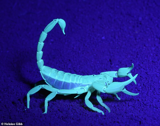 In 2019, researches were using the scorpion's ability to glow to search for the arachnids (pictured) in Australia's regional Victoria. Using UV-proof glasses and torches La Trobe University researchers discovered hundreds of burrows in the Mallee region