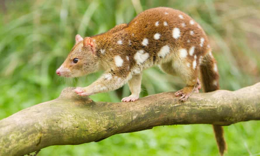 The Tiger quoll – the closest remaining relatives of the extinct thylacine.