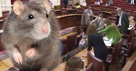 Big rat causes mayhem in parliament