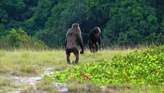 Two adult males of the Rekambo community of the Loango Chimpanzee Project in Gabon checking the area.