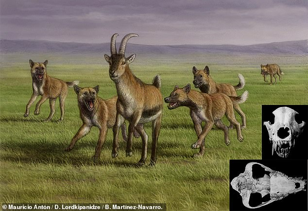 The jawbone of a huge canine from 1.8 million years ago has been found alongside human remains in Georgia — and may be Europe's first hunting dog, a study claimed. Pictured: an artist's impression of a pack of Eurasian hunting dogs chasing prey