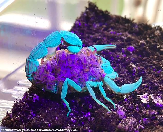 The 14 second clip shows a brownish colored female scorpion carrying dozens of babies on her back, which are in similar color, but when a UV light is shined, the group glows with unnatural electric colors