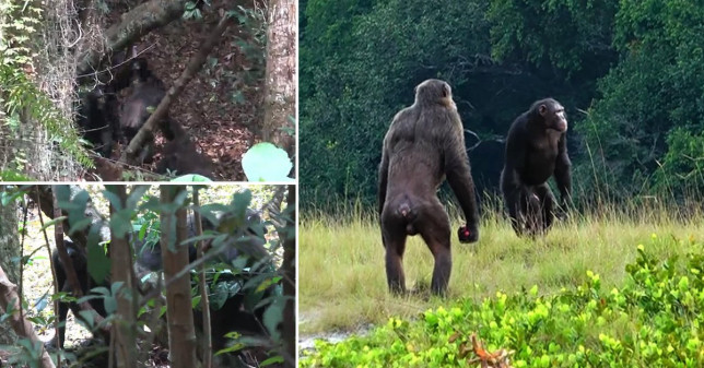 Chimpanzees have been seen ganging up and killing gorillas for the first time ever in the wild as climate change and diminished food supplies threaten their habitat in the Loango National Park in the west African country of Gabon.