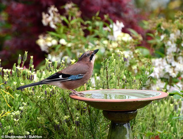 The RSPB is urging Brits to consider leaving fresh water in their gardens to help birds keep cool amid the heatwave